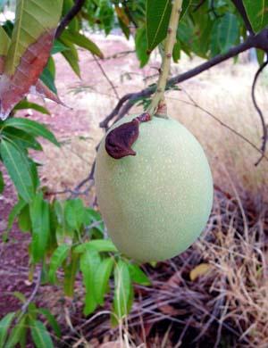 Mango_tree_mt_isa_hinkler_nov_07_in