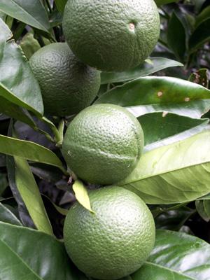 Green_oranges_jan_08_blog
