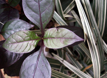Purple_leaves_yellow_stripes_feb_08